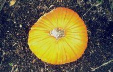 My pumpkin pie pumpkin